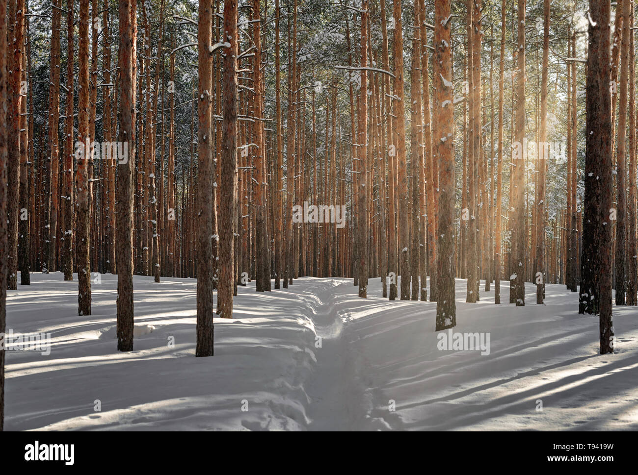 Beautiful winter forest with sunlight. Wonderful place for relax and weekend. Tall snow covered pines in sunny weather. Winter fairytale - Stock Image