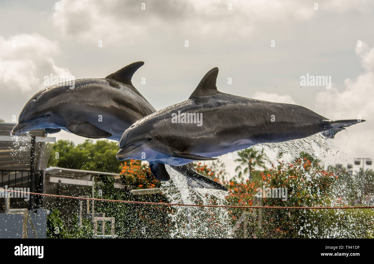 Two dolphins jump out of the water during a dolphin show Stock Photo