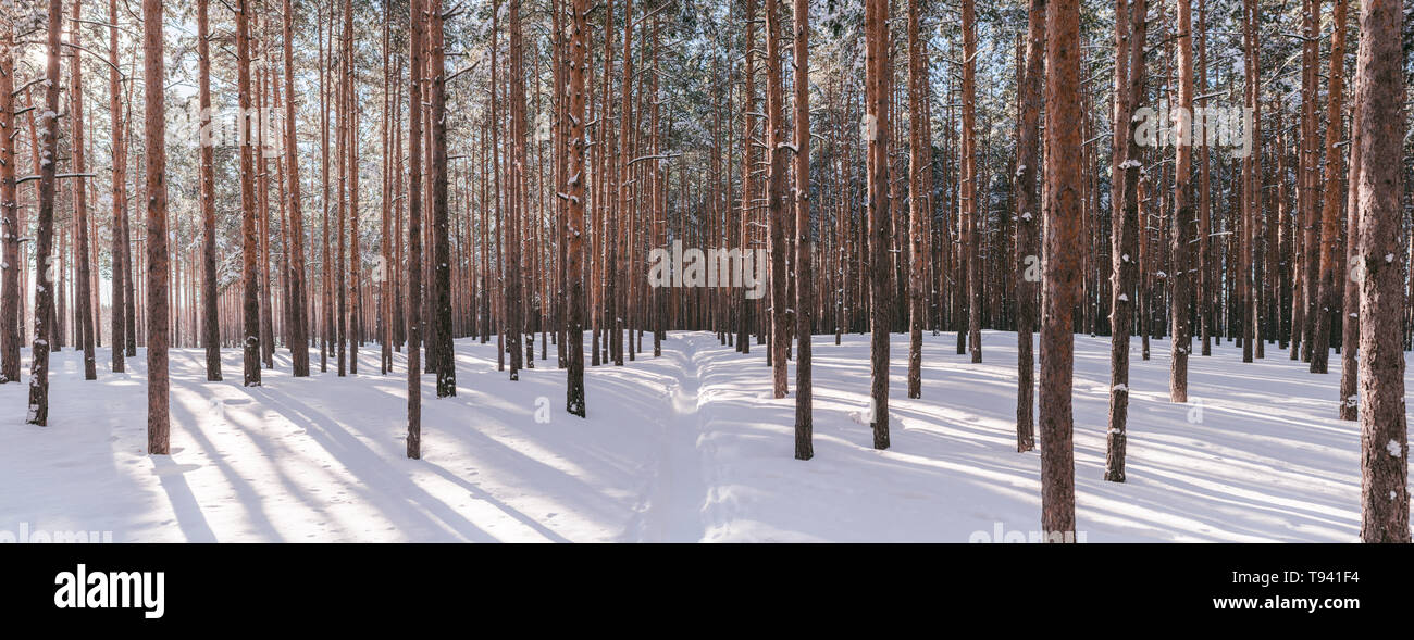 Panorama of winter forest with sunshine. Wonderful landscape with pines in sunny weather. Winter fairytale - Stock Image