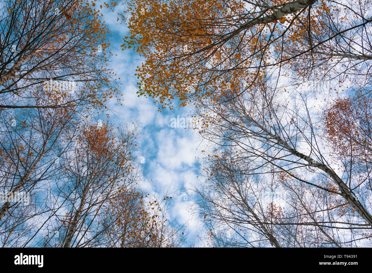 Autumn birch treetops in fall forest. Sky and clouds through the autumn tree branches from below. Foliage background. Copy space - Stock Image