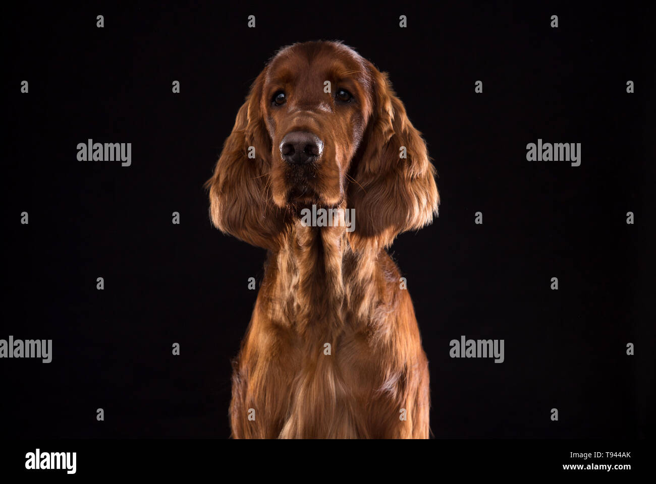 Setter Dog Isolated on Black Background in studio , Portrait of beautiful dog on Black Background in studio Stock Photo