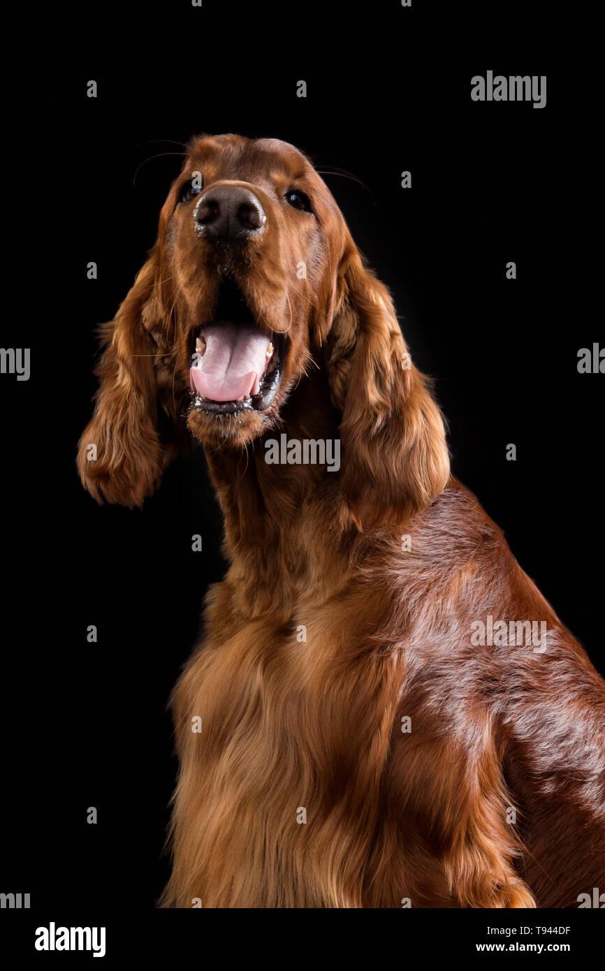 Setter Dog Isolated on Black Background in studio , Portrait of beautiful dog on Black Background in studio - Stock Image