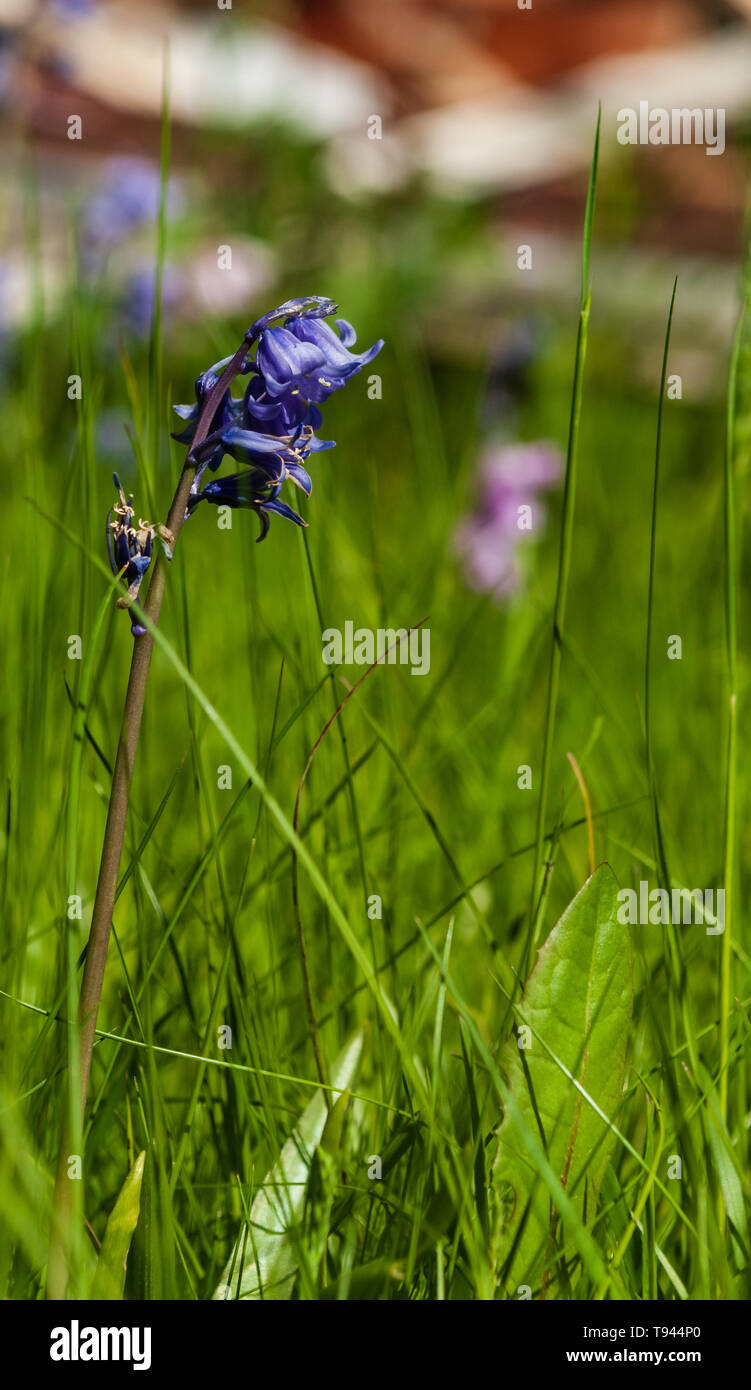 A close up ground-level narrow depth of field image of an isolated common bluebell in tall green grass on a bright sunny day with the background blurr - Stock Image