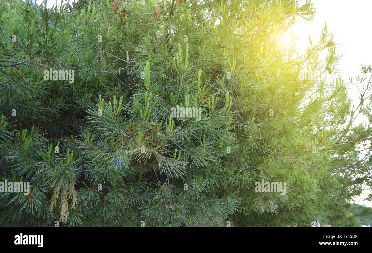 Sun glare shining through the branches of pine with young shoots on the branches, coniferous trees, the background of nature. - Stock Image