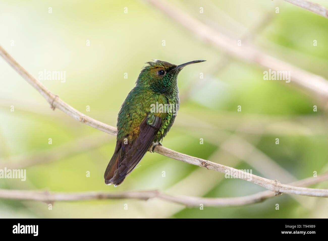 coppery-headed emerald hummingbird Elvirs cupreiceps adult male perched on branch in forest, Costa Rica - Stock Image