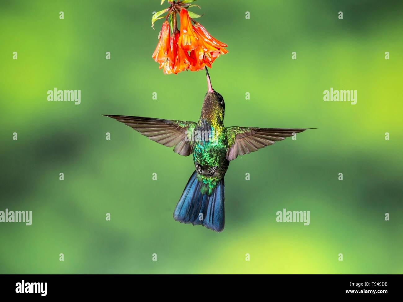 fiery-throated hummingbird in flight, feeding on nectar of flower, Costa Rica - Stock Image