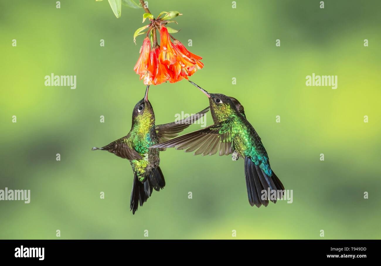 fiery-throated hummingbird two birds in flight, feeding on nectar of flower, Costa Rica - Stock Image