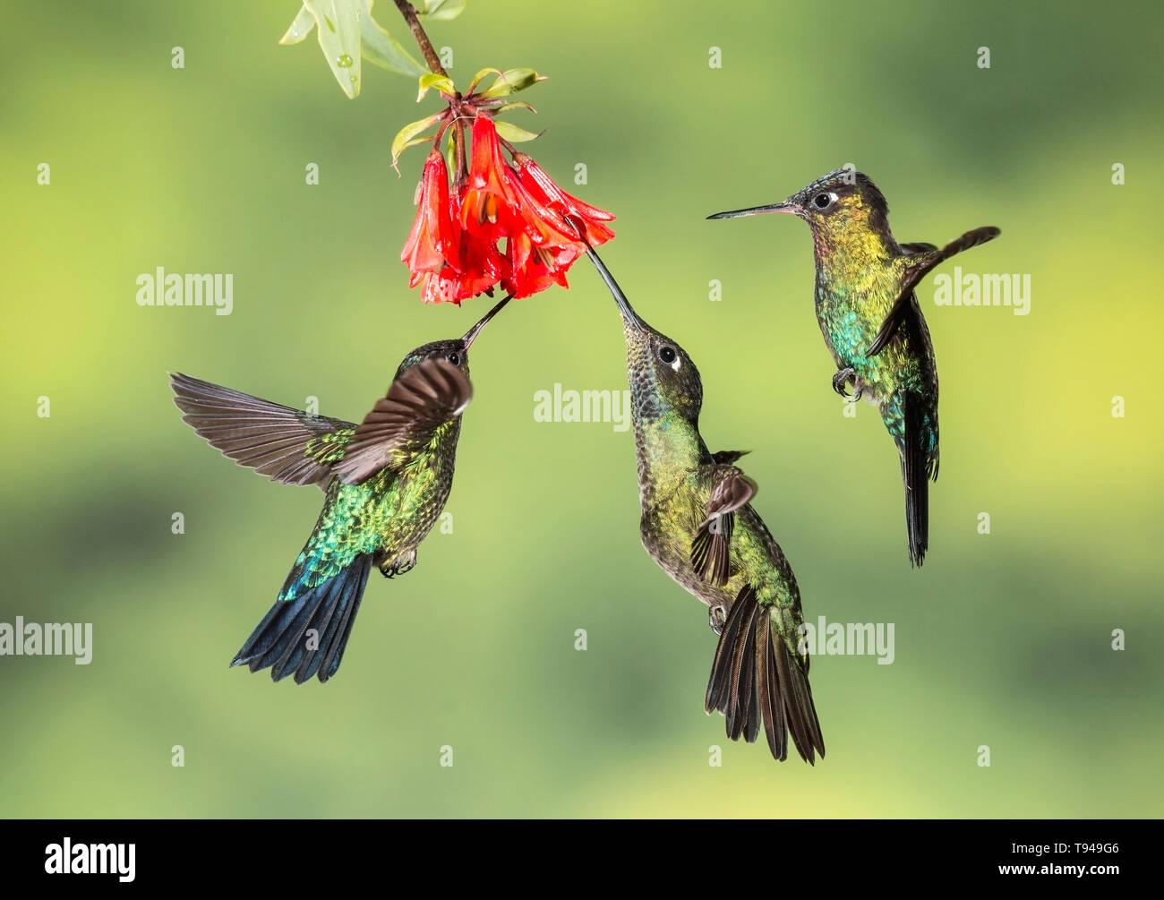 fiery-throated hummingbird three individuals in flight, feeding on nectar of flower, Costa Rica - Stock Image
