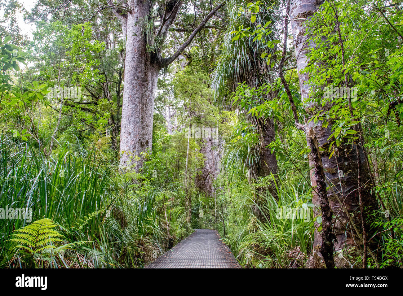 Kauri Tree Forest in New Zealand - Stock Image