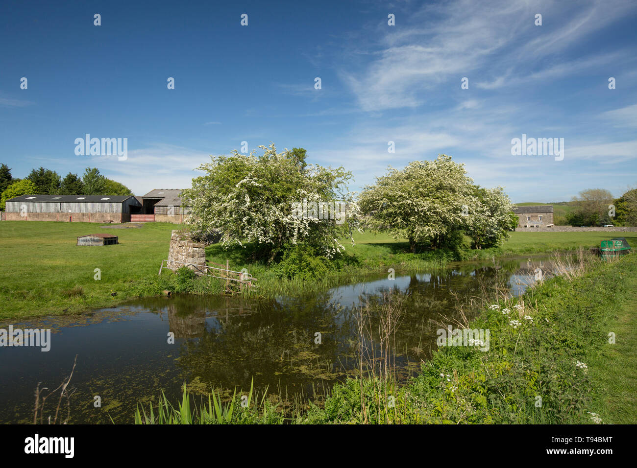 A view of a disused section of the Lancaster Canal near the village of Crooklands in Cumbria with flowering hawthorn trees, Crataegus monogyna, on its - Stock Image