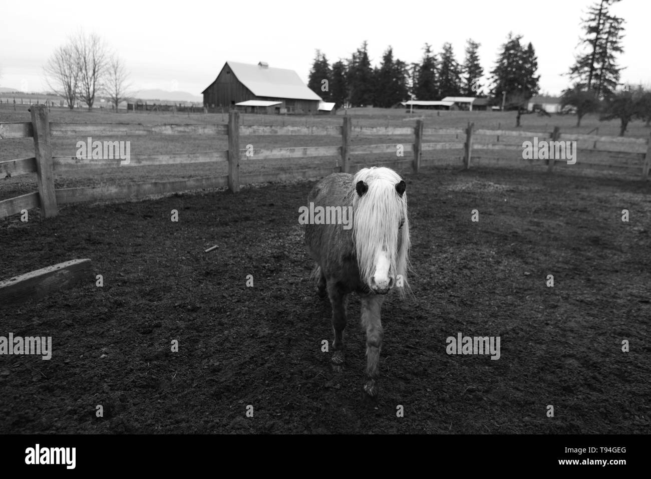 A beautiful single young pony in a farm shot in black and white - Stock Image