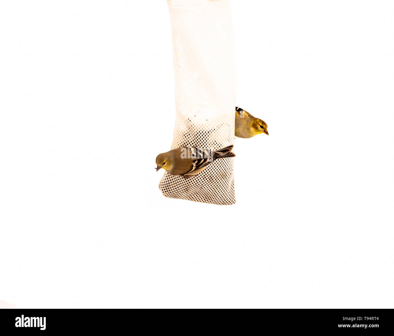 Two American Goldfinches on Nyjer Thistle sock feeder. - Stock Image