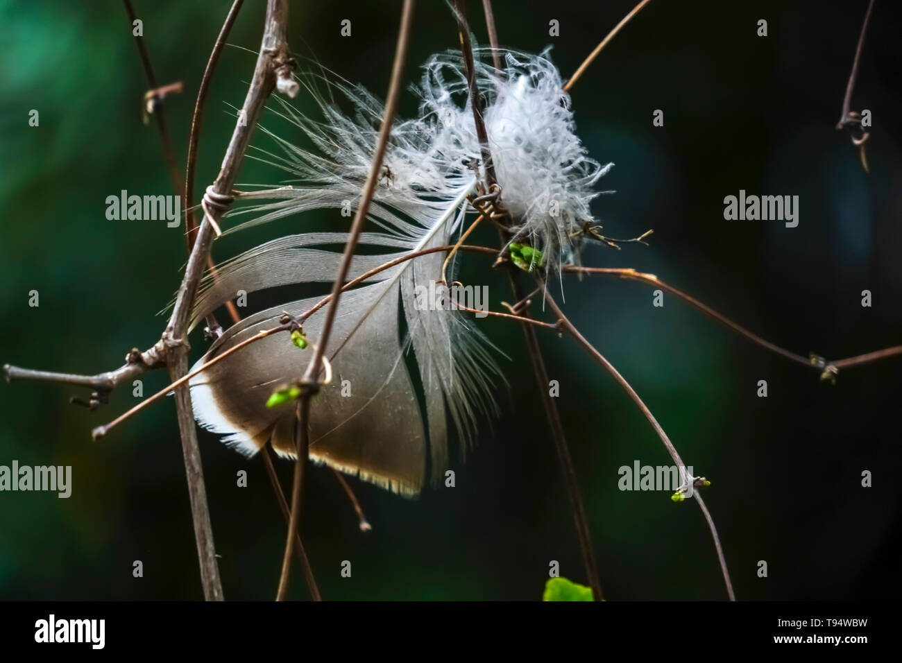 Close up of a bird's feather caught in the branches of a bush - Stock Image