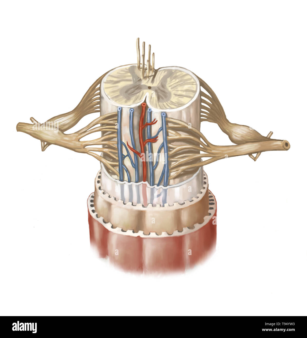The spinal cord is formed by a cord of nervous tissue more than 16 inches (40 cm) in length located in the vertebral canal, inside the spinal column. It spans from the spinal bulb to the second lumbar vertebra and is extended by a collection of nervous fibers, the cauda equina. Composed of motor and sensory neurons, the spinal cord ensures the transmission of messages between the spinal nerves and the brain, in addition to being a reflex center. Stock Photo