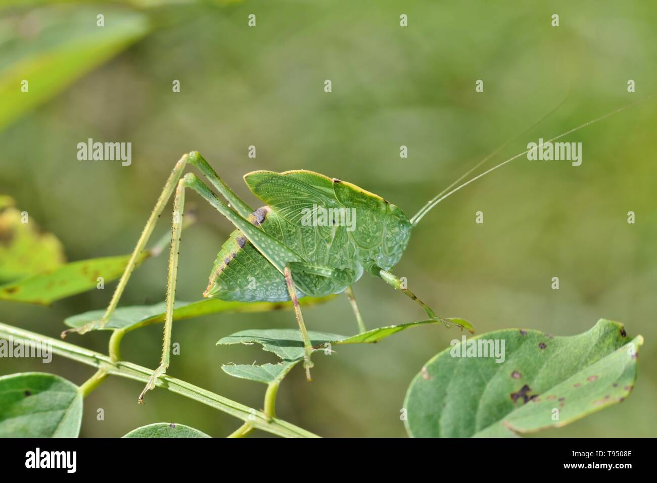 A Katydid looks like a leaf and is quite well camouflaged as it creeps slowly amid the tree foliage. - Stock Image