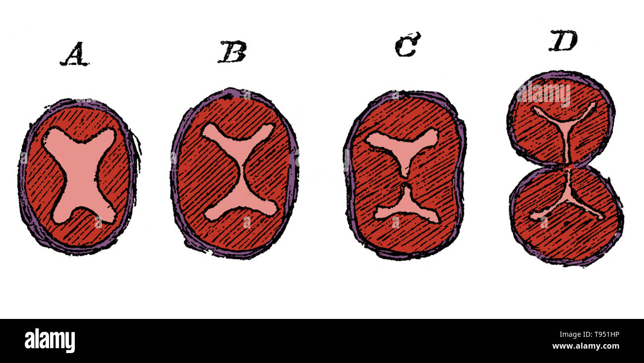 Diagram showing the division of the lower part of the bulbus aorta, aorta, and the formation of the semilunar valves. A, undivided truncus arteriosus with four endocardial cushions; B, advance of the two lateral cushions resulting in the division of the lumen; C, projection of three endocardial cushions in each part; D, the separation into aorta and pulmonary trunks completed. Jones Quain (November, 1796 - January 31, 1865) was an Irish anatomist, professor of Anatomy and Physiology in the University of London, and author of Elements of Anatomy. The first edition was published in 1828 and it q - Stock Image