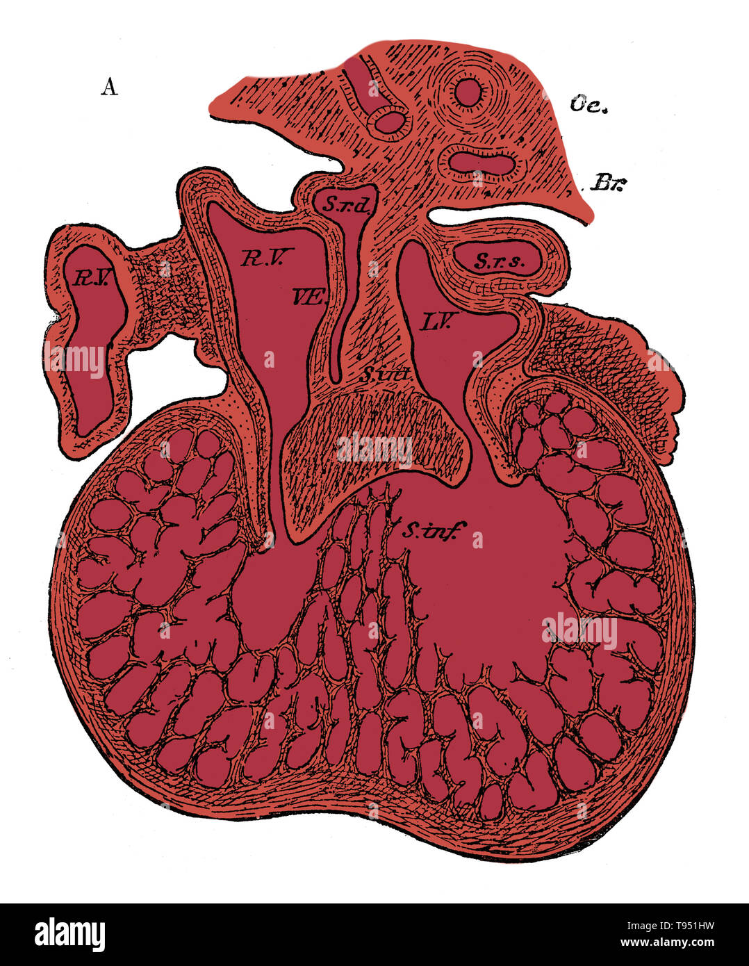 Section through the heart of human embryo showing the formation of the cardiac septa and the auriculo-ventricular valves, 5 to 6 weeks. R.V, right auricle; L.V, left auricle; S.r.d, right horn of sinus; Sr.s, left horn of sinus; s. int, septum superior and endocardial cushion (septum intermedium); s. inf, septum infers ventriculorum; This septum, as well as the bulk of the ventricle, is a muscular sponge at this stage. Oc, esophagus; Br, bronchus. Jones Quain (November, 1796 - January 31, 1865) was an Irish anatomist, professor of Anatomy and Physiology in the University of London, and author  - Stock Image