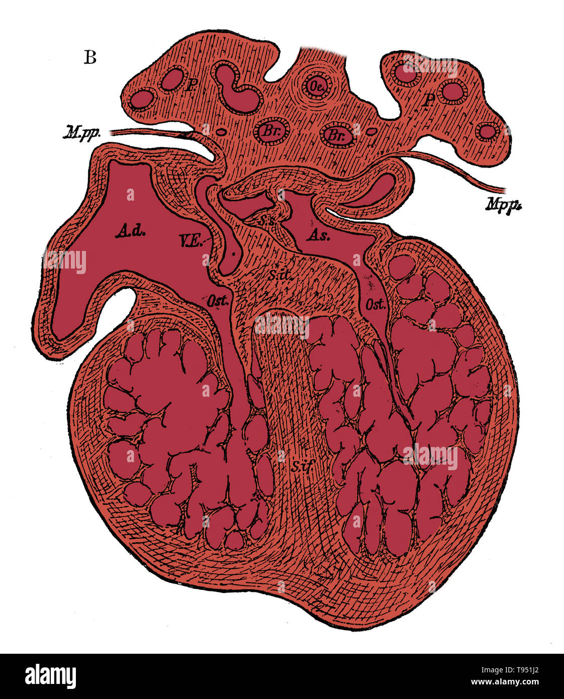 Section through the heart of human embryo showing the formation of the cardiac septa and the auriculo-ventricular valves, (see 9N3690) from a somewhat more advanced embryo. Ad, As, right and left auricle; Ost, auriculo-ventricular apertures; S.s, septum superior of auricles; S. it, endocardial cushion (septum intermedium); S. if, septum infers ventriculorum, now denser and more muscular. Jones Quain (November, 1796 - January 31, 1865) was an Irish anatomist, professor of Anatomy and Physiology in the University of London, and author of Elements of Anatomy. The first edition was published in 18 - Stock Image