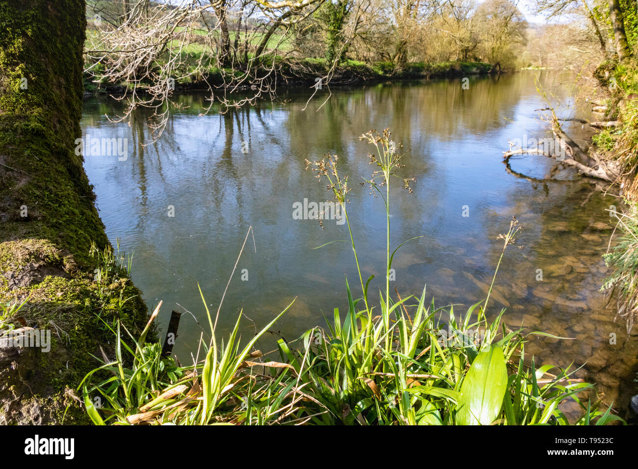 River Torridge: Early Spring View Looking DownRiver with Field WoodRush and Muted Reflections, River Torridge, Great Torrington, Devon, England. - Stock Image