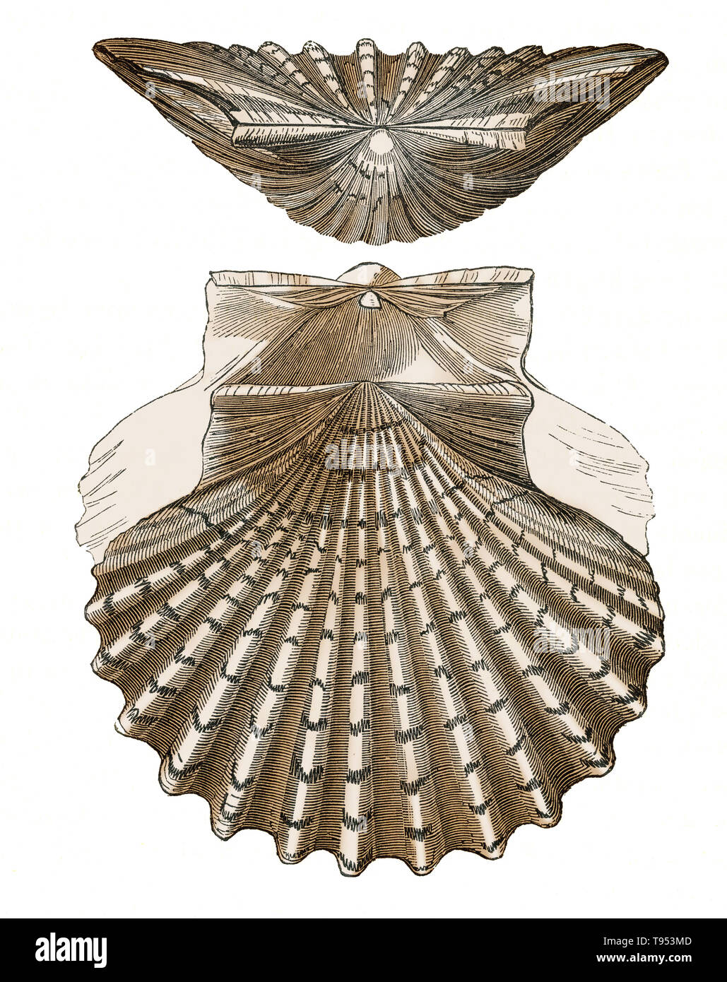 Shell of Pecten jacobaeus, a scallop from the Mediterranean Sea.  Illustration from Louis Figuier's The World Before the Deluge, 1867 American edition. - Stock Image