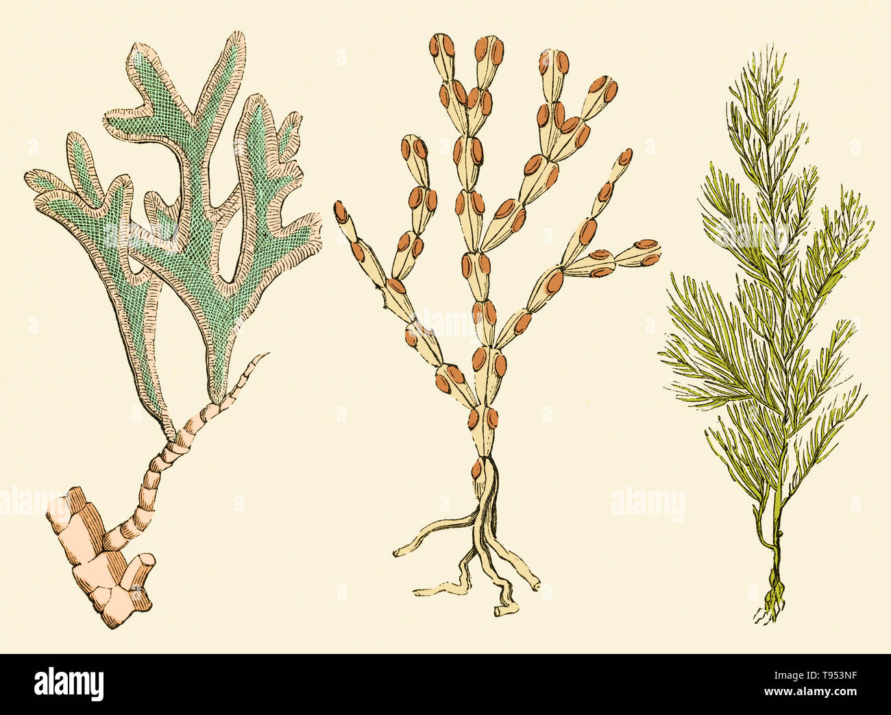 Bryozoans from the Jurassic Period. On the left is Adeona folifera, and on the right, two specimens of Cellaria loriculata.  Illustration from Louis Figuier's The World Before the Deluge, 1867 American edition. - Stock Image