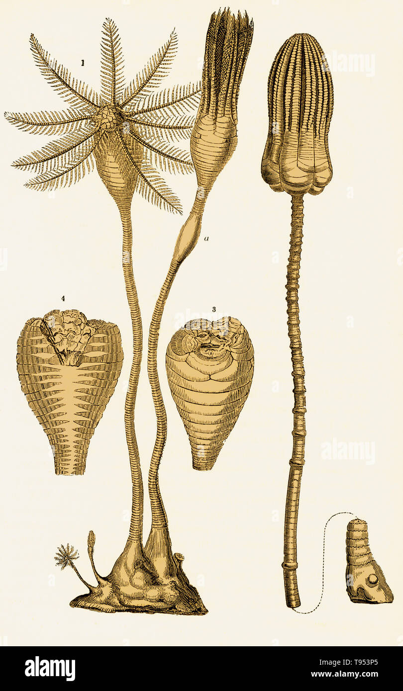 Crinoids from the the Jurassic Period. On the left is Apiocrinites rotundus, (1) feeding, (a) closed, (3) cross-section, and (4) vertical section, showing alimentary canal. On the right is Encrinus liliformis. Illustration from Louis Figuier's The World Before the Deluge, 1867 American edition. - Stock Image