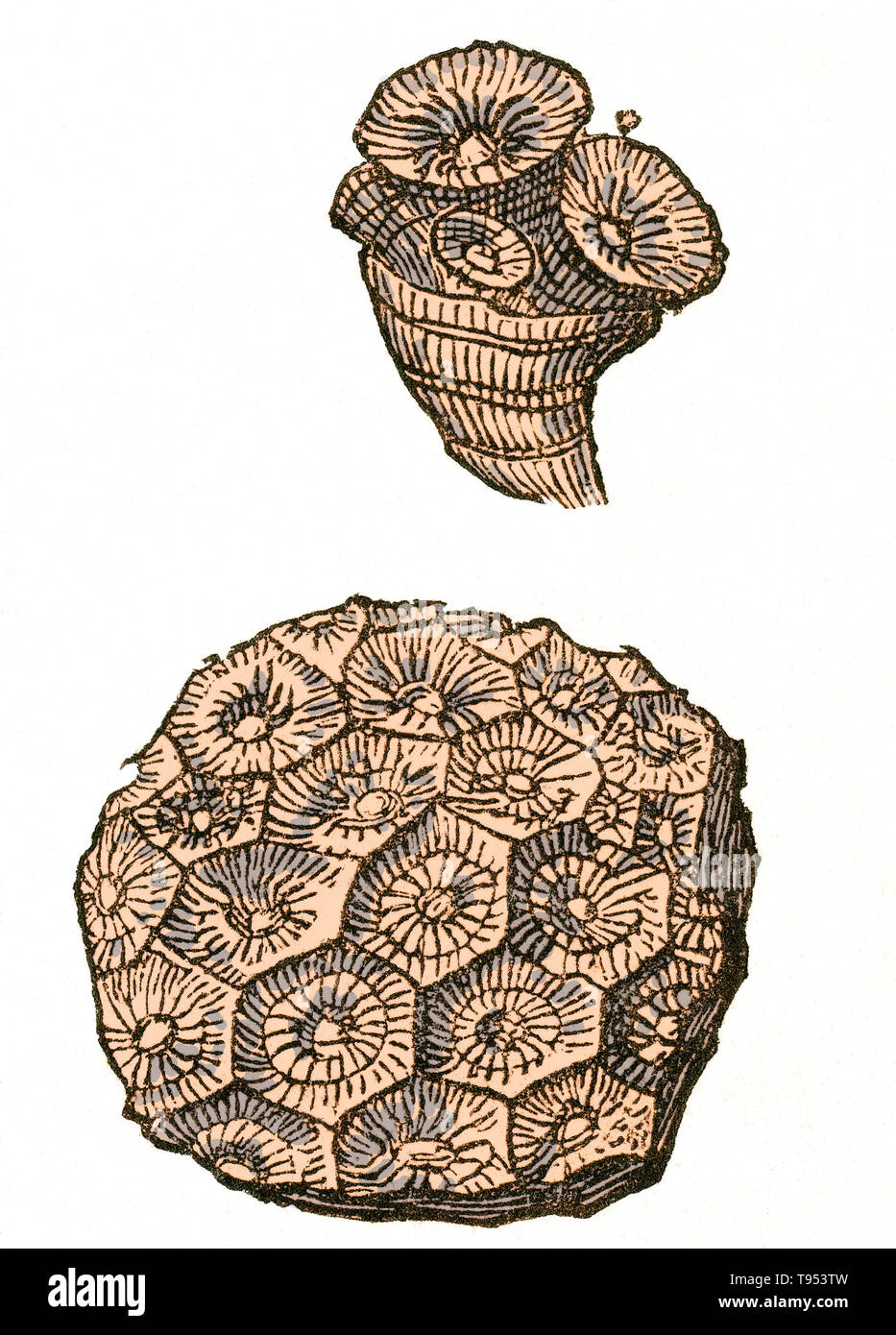 Fossil of a rugose coral colony (Lonsdaleia floriformis) that lived during the Carboniferous Period.  Illustration from Louis Figuier's The World Before the Deluge, 1867 American edition. - Stock Image