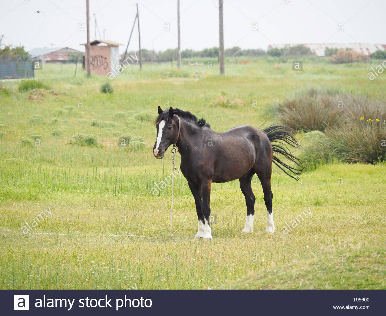 a black male horse resting on the field - Stock Image