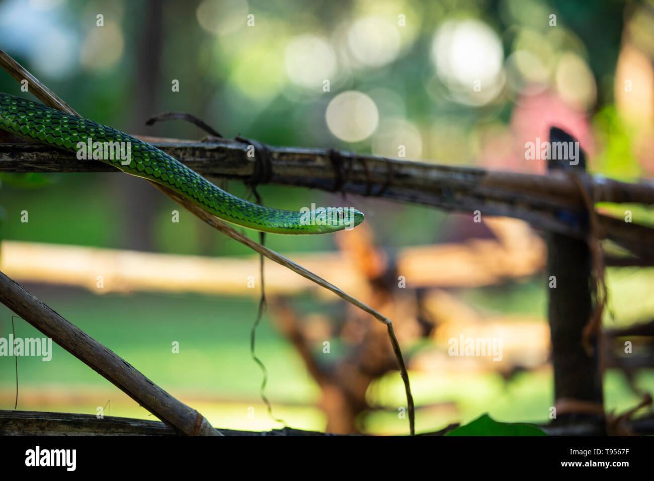 Angola Green Snake/Western Green Snake - Stock Image