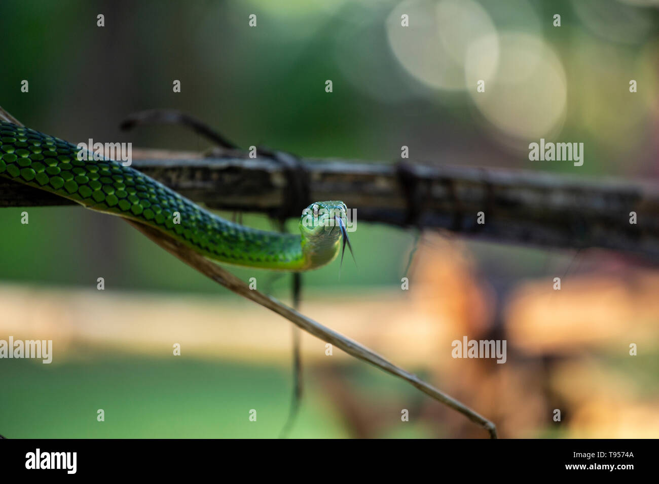 Angola Green Snake with it's tongue out - Stock Image