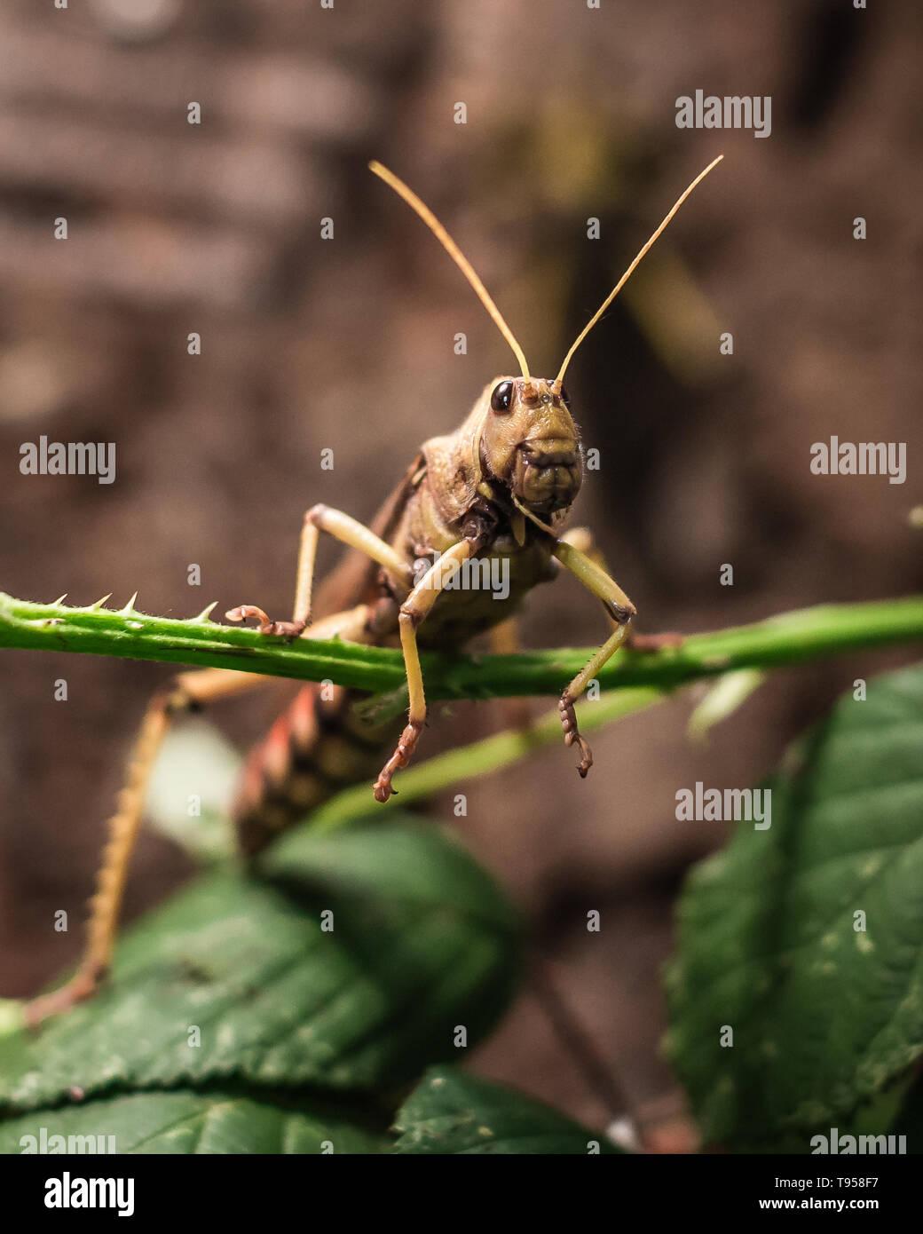 Locust portrait - Stock Image