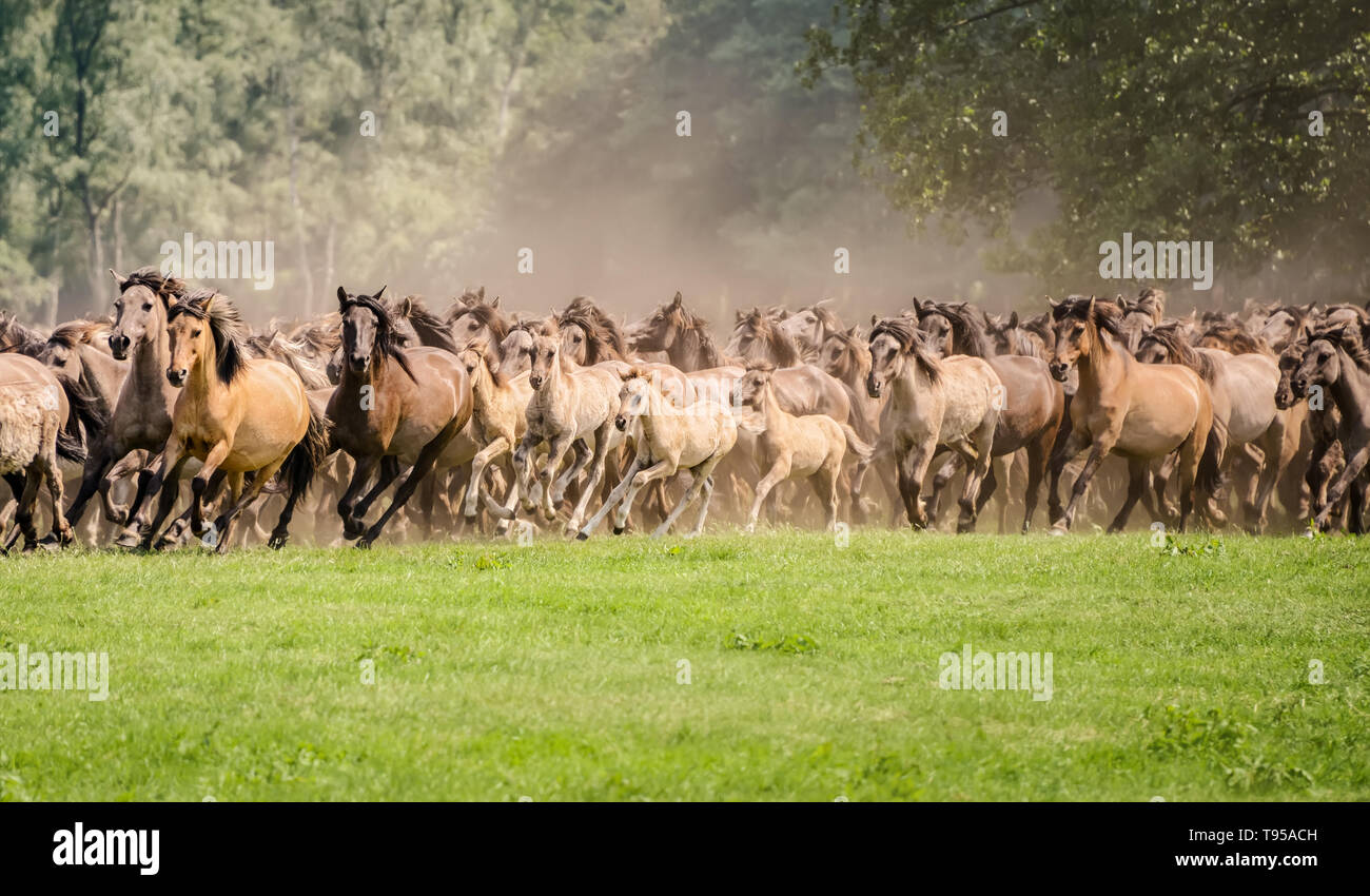 Herd of Duelmen ponies with foals running at a gallop across a meadow, a native horse breed lives wild in Merfelder Bruch Dülmen Münsterland, Germany - Stock Image
