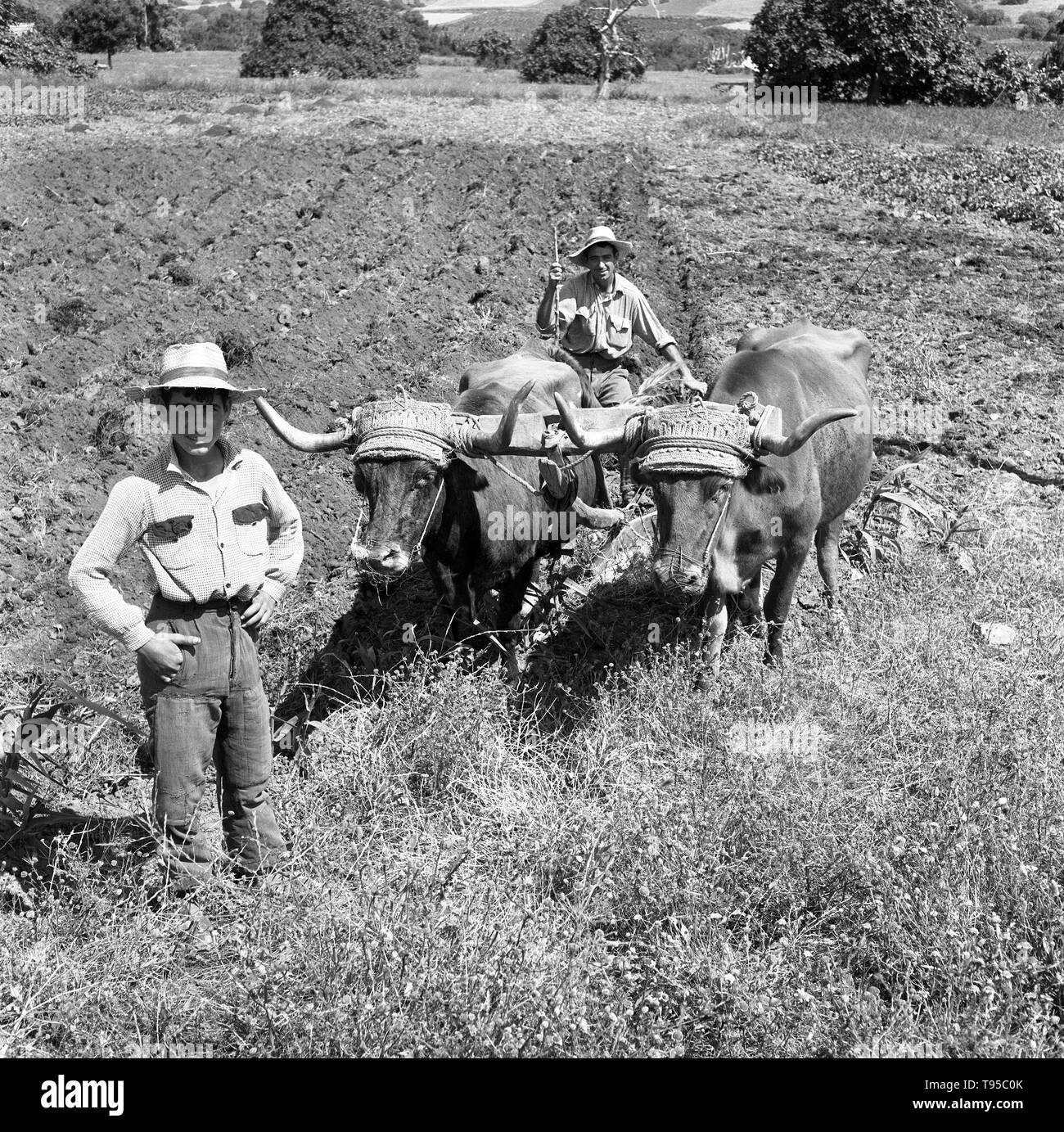 Spanish Farmers farming ploughing with Oxen Andalusia Spain 1950s - Stock Image
