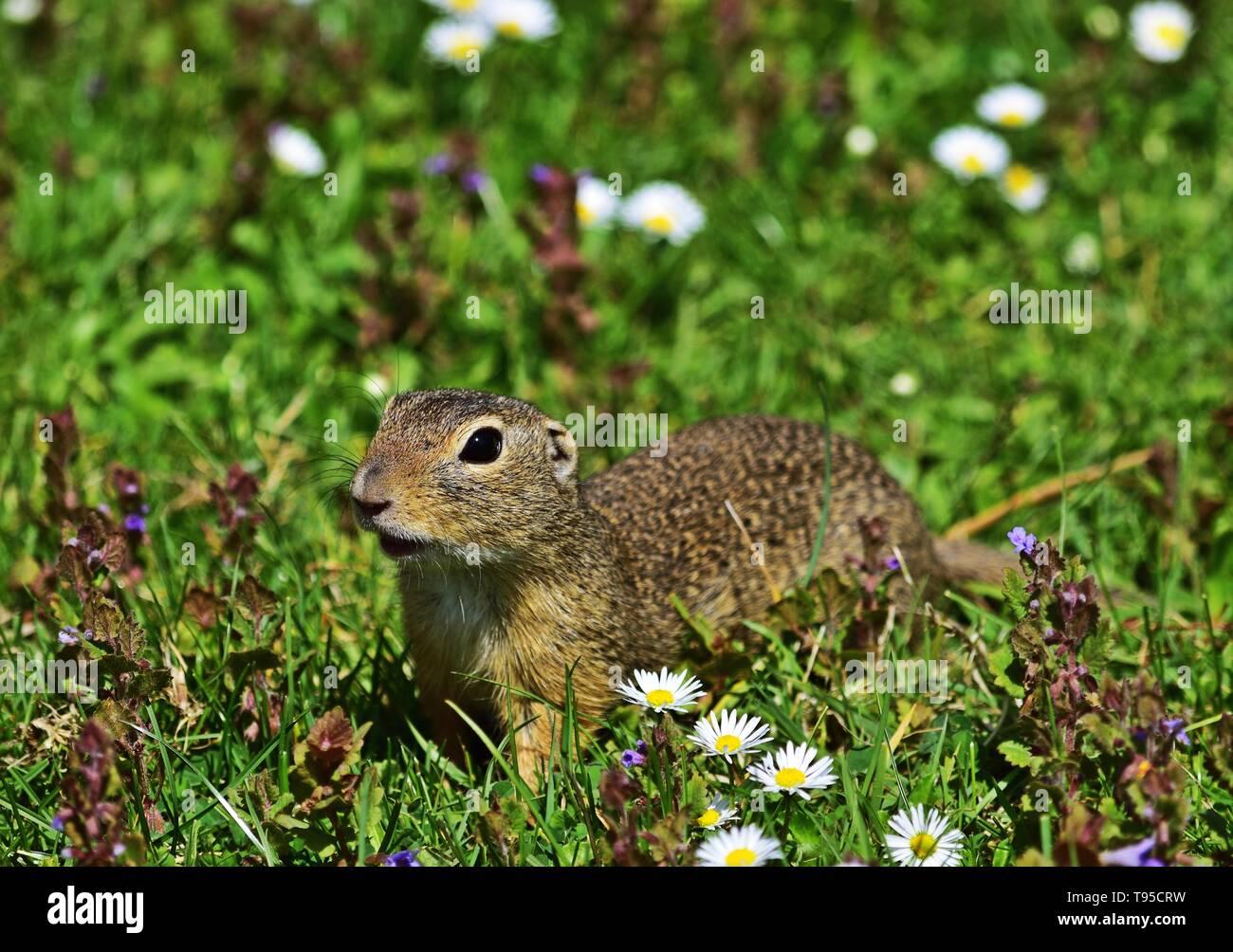 European ground squirrel - Spermophilus citellus Stock Photo