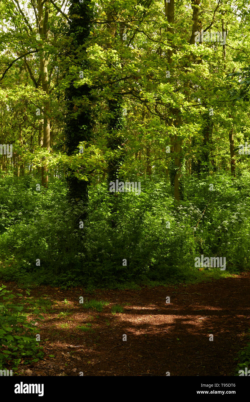 Bright fresh woodland in the sunshine with fresh spring leaves , a feeling of wellbeing - Stock Image
