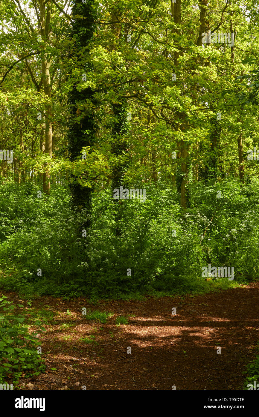 Bright fresh woodland in the sunshine with fresh spring leaves , a feeling of wellbeing Stock Photo
