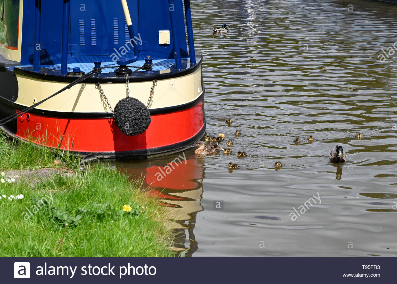 Family of mallard ducks including ducklings swimming in a canal near a narrowboat in the bright sunshine. - Stock Image