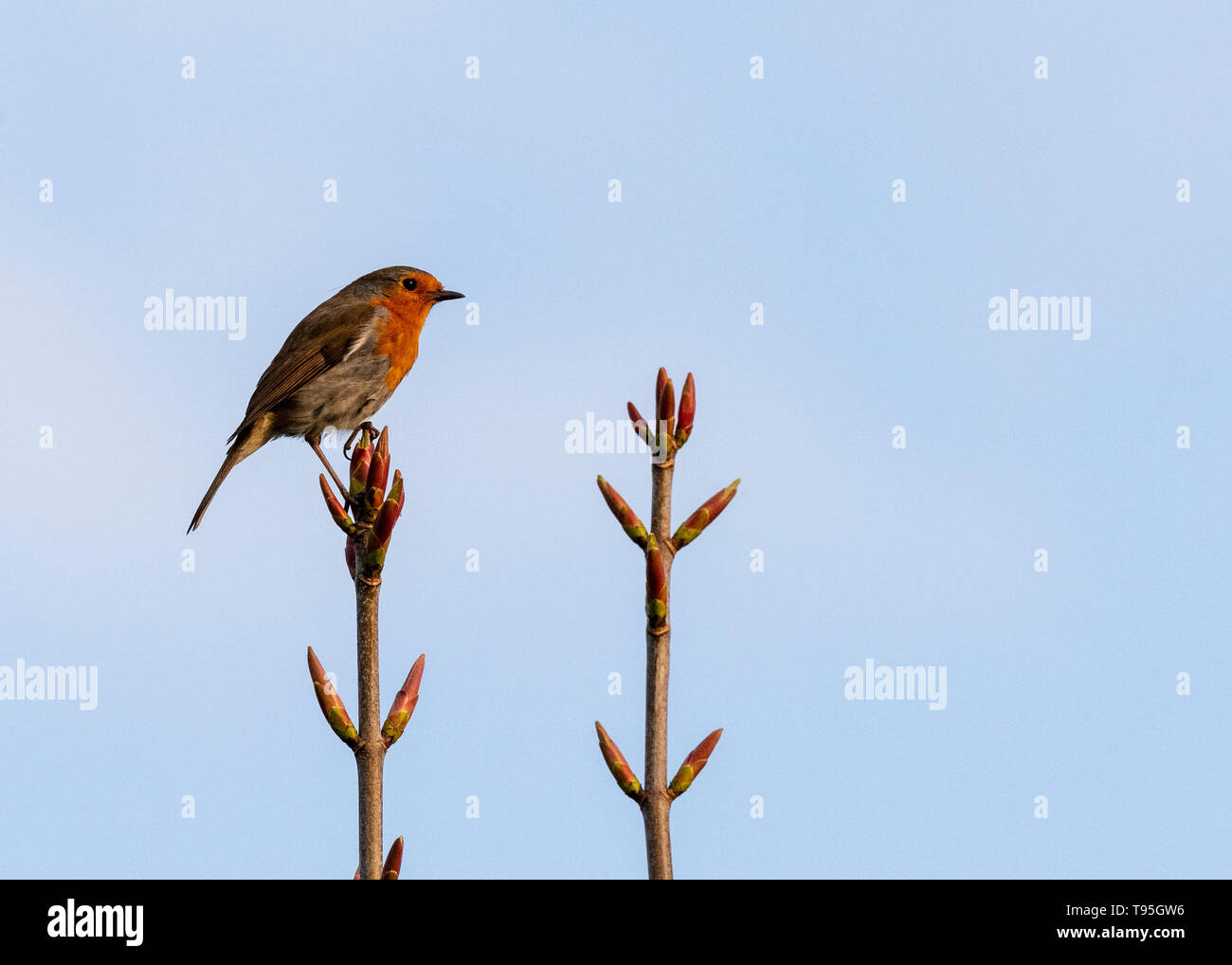 Robin on tip of a branch - Stock Image