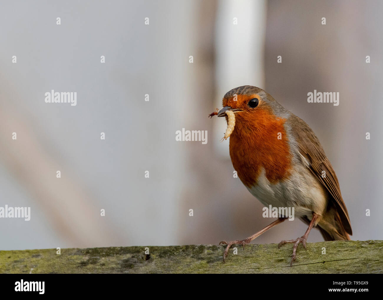 Robin on fence with worm in beaks - Stock Image