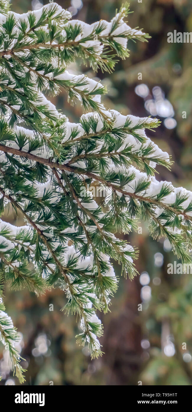 Clear Vertical Close up of a tree with lush green leaves dusted with powdery snow in winter - Stock Image