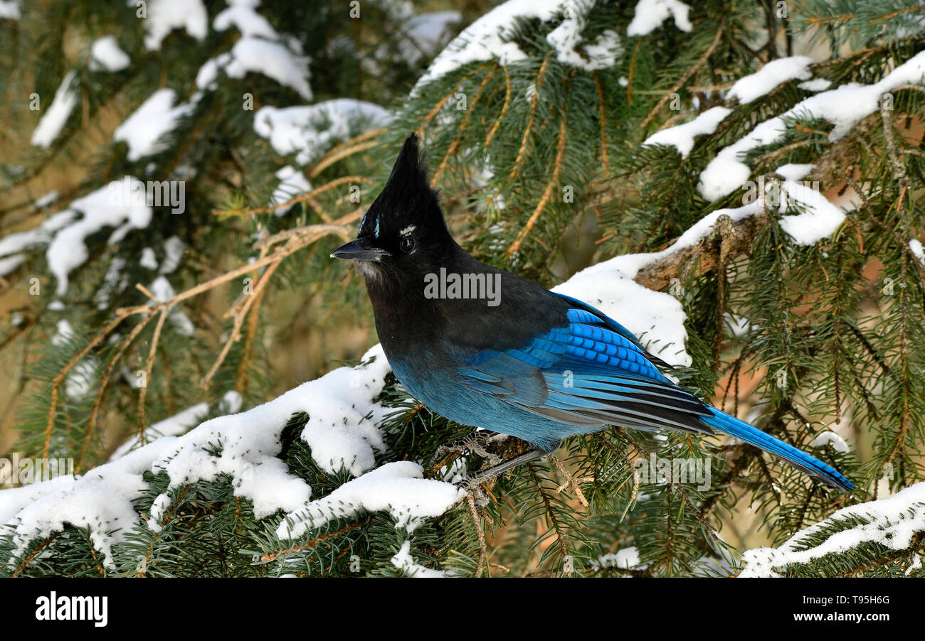 A horizontal image of a Stellers Jay  (Cyanocitta stelleri), perched on a green spruce tree branch in rural Alberta Canada - Stock Image
