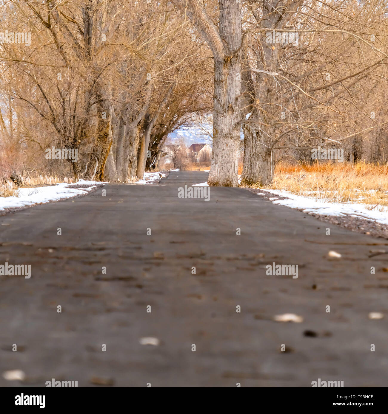 Clear Square Paved road amid a snowy terrain with tall leafless hibernating trees in winter - Stock Image