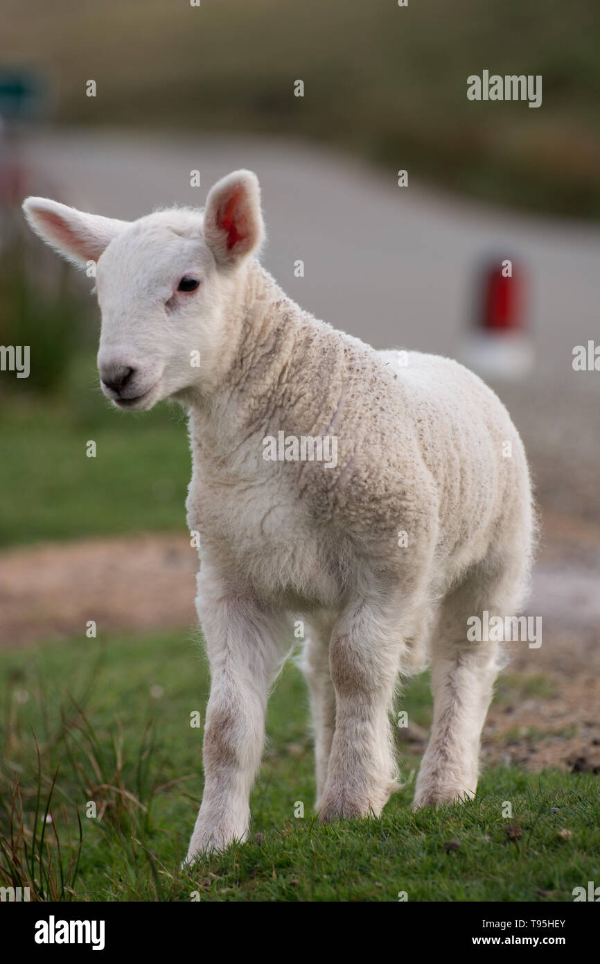 Cute Scottish lamb - Stock Image