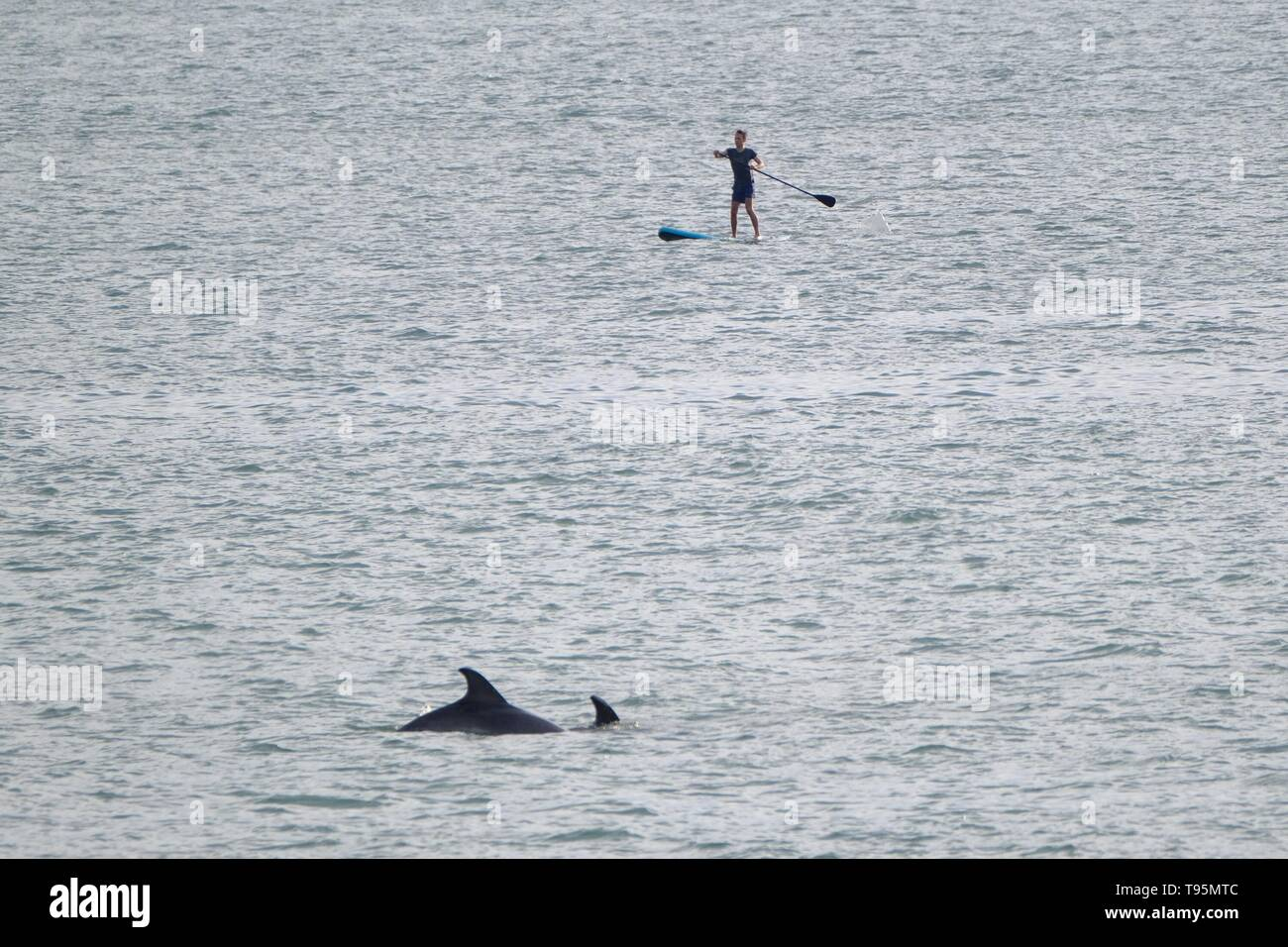 Aberystwyth Wales Uk. Thursday 16 May 2019 UK weather: A lone paddle boarder gets a close encounter with a pair of dolphins in the sea off Aberystwyth beach on a warm May evening. photo Credit: Keith Morris/Alamy Live News - Stock Image