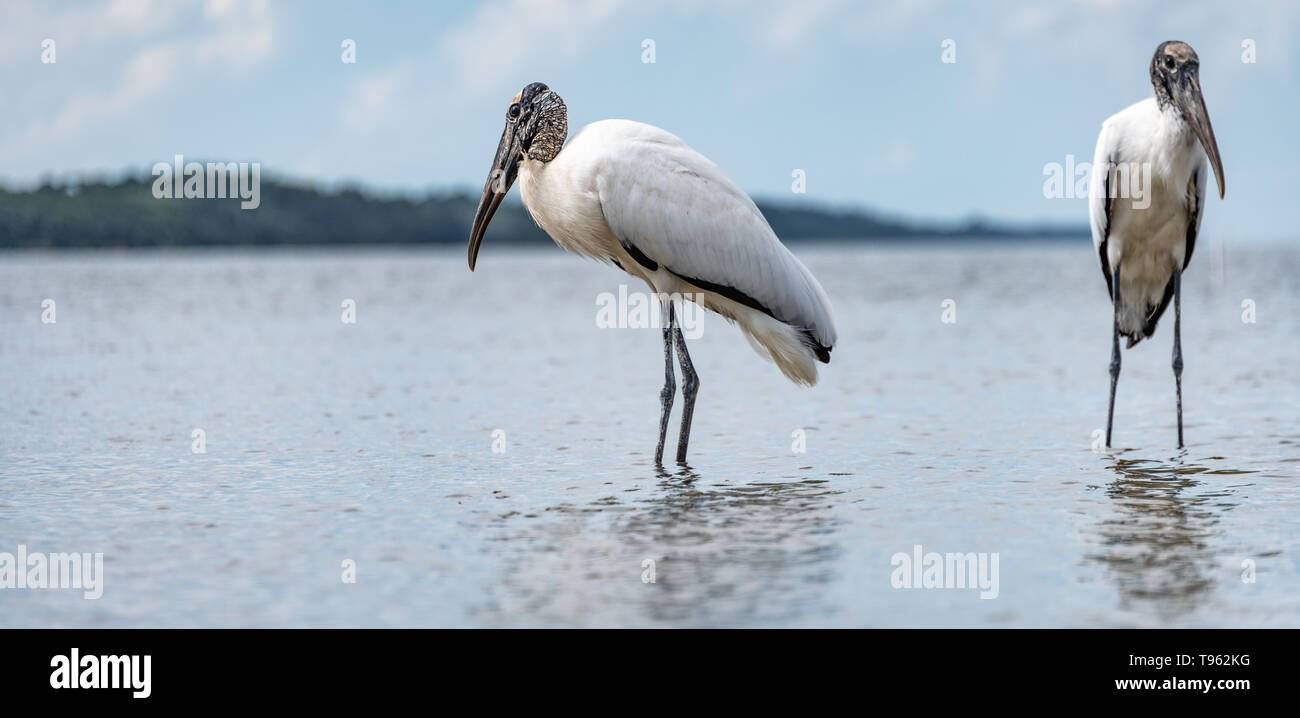 Wading Wood storks at the Guana Tolomato Matanzas National Estuarine Research Reserve (GTM Research Reserve) in Ponte Vedra Beach, Florida. (USA) - Stock Image