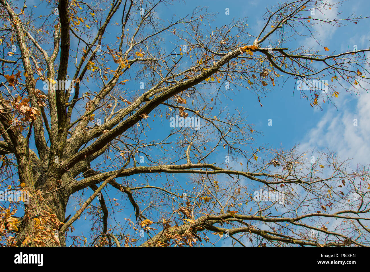 Crown and branches of oak tree without leaves on sky background - view from below - Stock Image