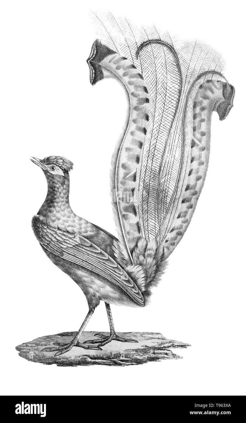 Male superb lyrebird (Menura novaehollandiae) displaying his fancy tail, from La galerie des oiseaux du Cabinet d'histoire naturelle du Jardin du roi, 1834 edition, written by Louis Pierre Vieillot, with plates by Paul Louis Oudart. - Stock Image