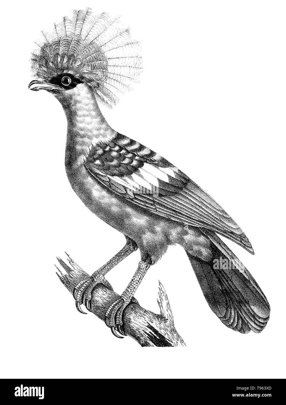 Crowned goura pigeon (Lophyrus coronatus) from La galerie des oiseaux du Cabinet d'histoire naturelle du Jardin du roi, 1834 edition, written by Louis Pierre Vieillot, with plates by Paul Louis Oudart. - Stock Image
