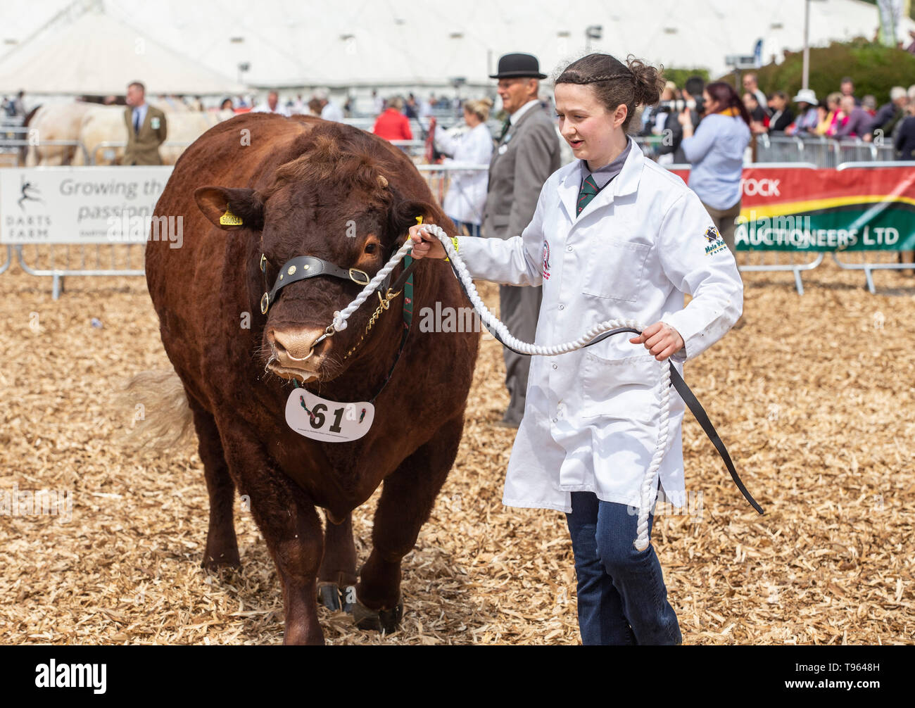 Herdswoman with the winning beast - Ruby Red Devon bull at the Devon County Show, 2019 Stock Photo