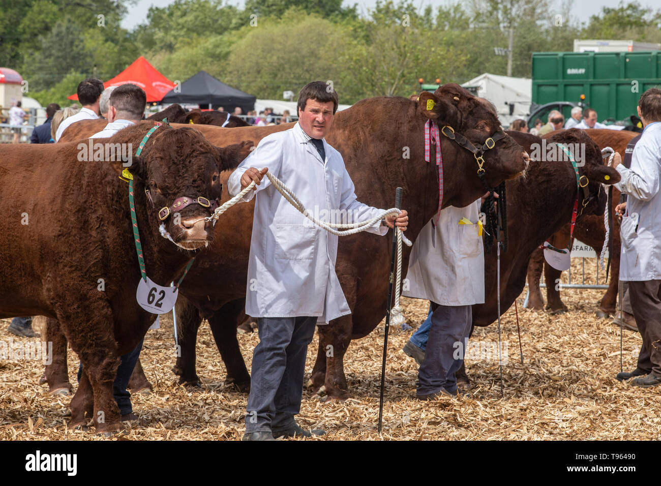 Herdsman with cattle driving stick and Ruby Red Devon bull at the Devon County Show, 2019 Stock Photo